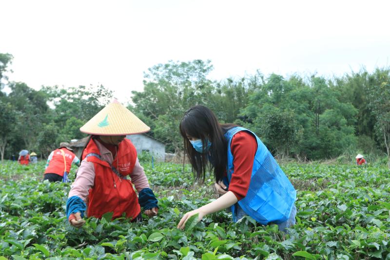 广东高质量发展深调研 融媒体走进英德红茶